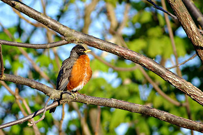 This project benefits many species of local birds, including robins.