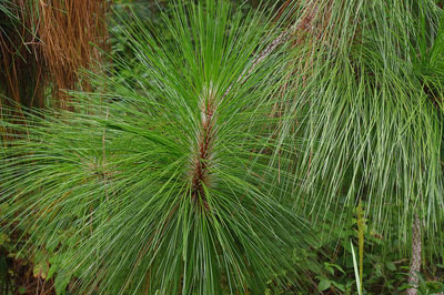 The needles of a longleaf pine are long and dark green, and occur in bundles of three.