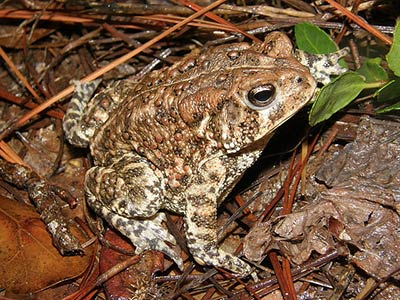 The endangered Houston toad, one of several local wildlife species benefiting from this project.
