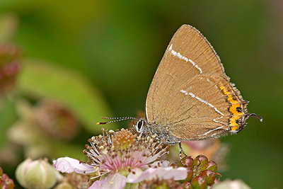 A White Letter Hairstreak butterfly, one of the key species benefiting from this project.