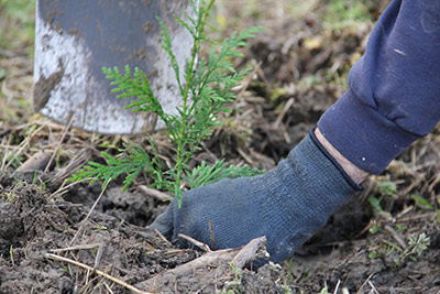 A volunteer carefully plants a seedling in Whatcom County