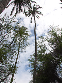 2014's Ultimate Big Tree, a coconut palm aptly named Coco.