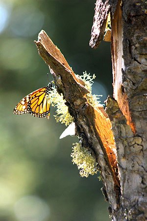 Monarchs alight on the trunk of a tree.