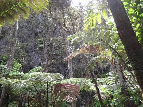 Many threatened Hawaiʻian plants can be found along the Kilauea Iki Crater Hike in Hawaiʻi Volcanoes National Park. Photo: Lindsay Joyce/Flickr