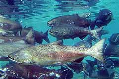 Freshwater fish like the salmon rely on tree biomass that falls into the water for sustenance. Photo: PNNL/Flickr
