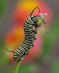 Monarch caterpillar on milkweed, their sole food source