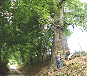 Ron Ellis (left), owner of the Shumard oak, and William McClain (right), retired state forester in Illinois, taking measurements of the national champion