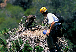 Bald eagles were restored to the Channel Islands in the early 2000s