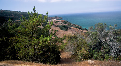 The bishop pine forest on Santa Cruz Island provides nesting opportunities to bald eagles.