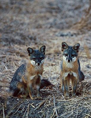Island fox.