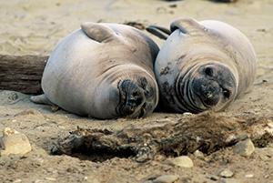 Northern elephant seal pups.