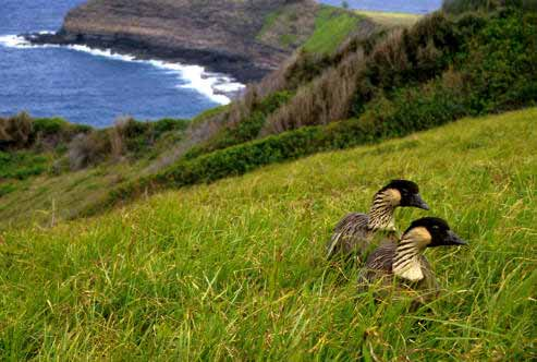 The Nene, the Hawaiʻian state bird, is one of the Island's critically endangered indigenous species.  Photo: U.S. Fish and Wildlife Service