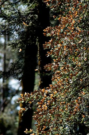 Monarchs clustering on fir trees
