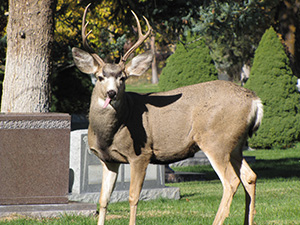 Salt Lake City Cemetery is home to deer, foxes, owls and other wildlife