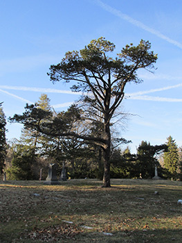 Ohio state champion western white pine at Spring Grove Cemetery and Arboretum
