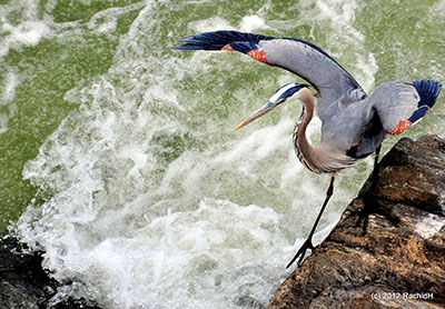 A great blue heron at Great Falls Park in Virginia