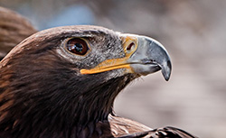 The non-native golden eagle hunted the island fox population to near extinction in the 1990s.