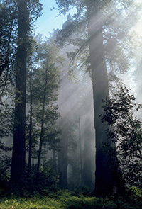 California's redwoods are increasingly threatened by poacher activity in state and national parks. Photo: National Parks Service