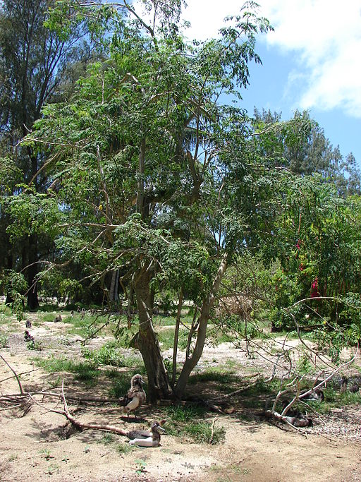 American Forests planted moringa trees in a 2011 Global ReLeaf project in Ghana.