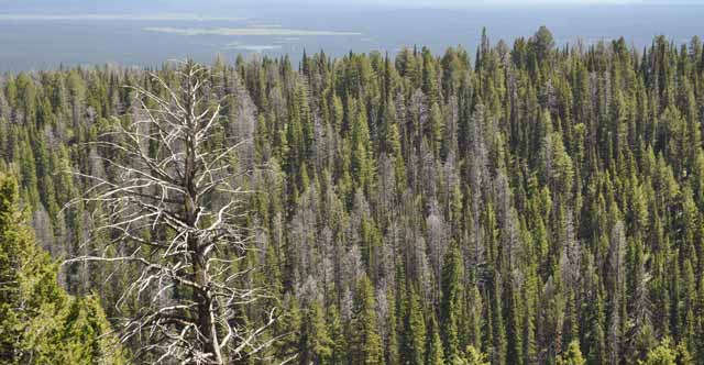 Forests across the country and world are succumbing to a range of threats, from drought and wildfire to pests and diseases, all of which are exacerbated by climate change.