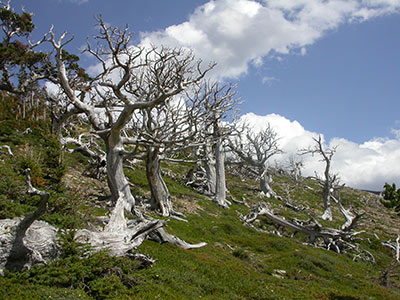 "Ghost forest of whitebark pine ""skeletons."""