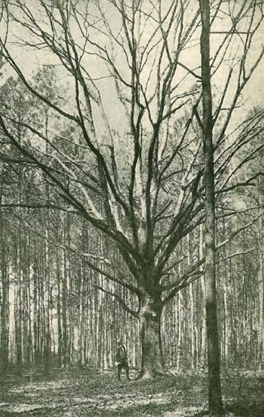 1945 wolf tree