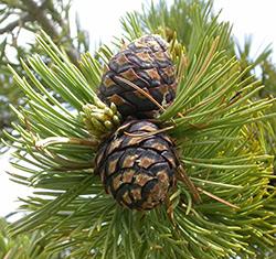 whitebark pine cones