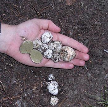 """""""Pogies"""" — subterranean ectomycorrhizal fungi"""