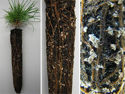 Roots of an inoculated seedling covered with ectomycorrhizae.