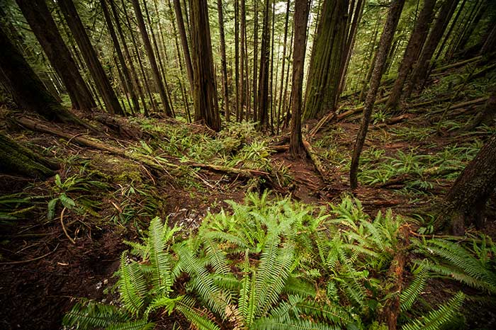 Untouched old growth forests like the Avatar Grove in Port Renfrew, British Columbia, are where the northern spotted owl thrives.