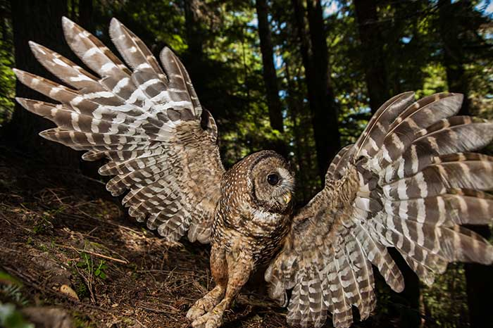 A northern spotted owl in the Western Cascades new Seattle