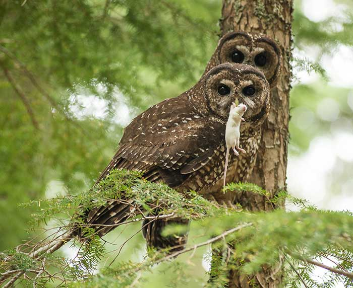 Northern spotted owl with mouse