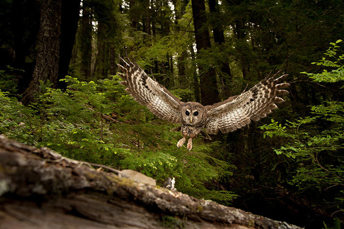 A northern spotted owl catches a mouse to take to its nest.