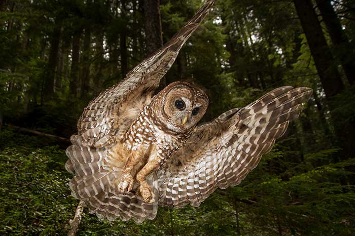 Northern spotted owl in HJ Andrews Experimental Forest in Oregon