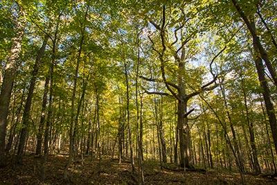 Kentucky chinkapin oak wolf tree