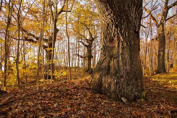 Vermont wolf trees