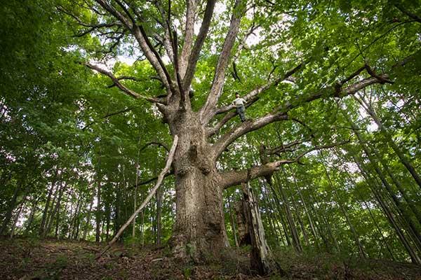 Author Michael Gaige explores a Vermont white oak that predates the American Revolution