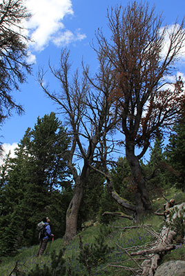 Dr. Diana F. Tomback gazes up at a whitebark pine.