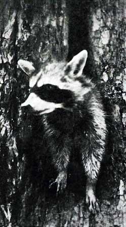 Raccoon in wolf tree