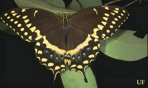 The palamedes swallowtail butterfly feeds on many plants and trees, including ash and redbay. Photo credit: J F Butler, University Florida.