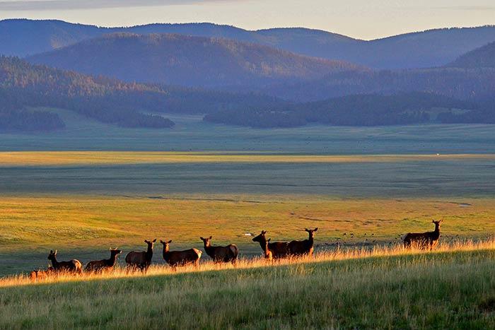 Elk herd in Valles Caldera, N.M.