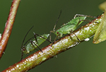 Aphids on silver birch