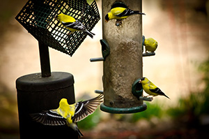 A crowd of goldfinches is attracted to this feeder