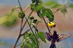 These goldfinches may have found a harbor to call home