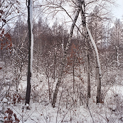 Birch in a mixed young forest at Ennis Lake