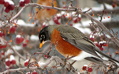 Lingering fruit like hawthorn berries can make an area a good home for a robin, even in the frosty winter