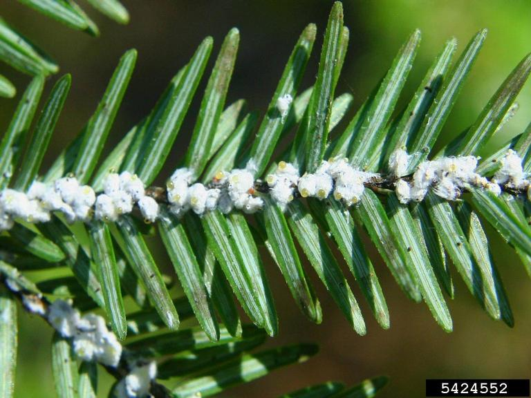 The aftermath of a hemlock woolly adelgid infestation.