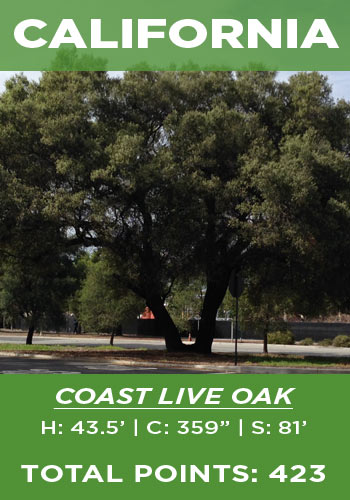California - Coast live oak