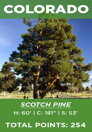 Colorado - Scotch pine