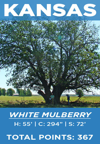 Kansas - white mulberry